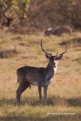 DSC_3652pA (Postman010) Tags: deer bambiland awd wildlife animals mamal autumn