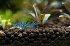 Blue Velvet Shrimp (Find The Apex) Tags: aquarium plantedaquarium animals aquariumplants aquaticplants bucephalandra buce bluevelvetshrimp neocaridinadavidi shrimp