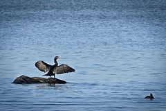 storskarv (Håkan Jylhä (Thanks for +600000 views)) Tags: skarv fågel bird wings vingar sweden sverige håkan jylhä sony rx10 cormorant