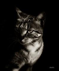 Gato en clave baja (murillogomezmario) Tags: gato blancoynegro clavebaja animales felinos