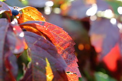 Anime d'autunno (Orange Attitude) Tags: autunno autumn foliage leaf colors orange red dof depthoffield canon eos 24105mm italy italia piedmont piemonte biella bokeh alberi tree yellow bosco wood 1300d violet sunlight light nature natura