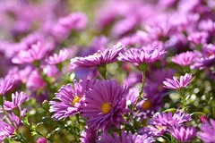 (Sandra Király Pictures) Tags: astereae flower flowers makro macro natur outdoor autumn