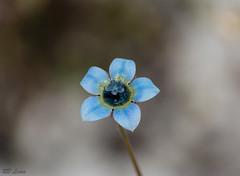 Blue Wildflower at Lake Gnangara (4) (blair.levia) Tags: australia lakegnangara westernaustralia westernaustraliannativeflora westernaustralianwildflowers landscapes colours native perth