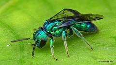 Iridescent Bee, Temnosoma sp., Halictidae (Ecuador Megadiverso) Tags: 8mm amazon andreaskay bee ecuador focusstack halictidae hymenoptera idbyjasongibbs rainforest temnosomasp tropic