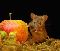 Mouse (Simon Dell Photography) Tags: mouse mice animals nature wildlife wild autumn fall festive seasonal season uk garden english country old bright vibrant display scene george simon dell photography card posters prints christmas xmas cute fun funny