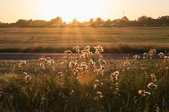 Heath (Spannarama) Tags: goldenhour sunlight sunshine golden heath london uk plants backlit glowing blackheath grass evening twilight eveninglight flare contrejour