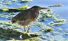 Green Heron, Butorides virescens (Dave Beaudette) Tags: birds greenheron butoridesvirescens lakesidepark tucson pimacounty arizona
