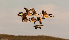 Canada Geese At Sunset (Steve (Hooky) Waddingham) Tags: animal planet countryside coast nature bird british northumberland wild wildlife wildfowl flight c