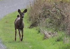IMG_0575 Black-tailed Deer (Jon. D. Anderson) Tags: deer fawn blacktaileddeer odocoileushemionuscolumbianus odocoileushemionus odocoileuscolumbianus
