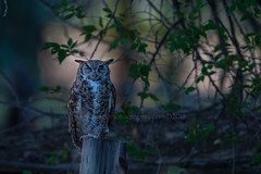 Beware of the Night (TNWA Photography (Debbie Tubridy)) Tags: greathornedowl twilight owl spooky forested halloween nature atmosphere wildlife mysterious natural habitat environment wild rural behavior activity debbietubridy tnwaphotography