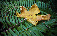 FALL (shoebox50) Tags: green yellow fern leaf autumn canons120 victoriabc canada walkinthewoods outdoors nature