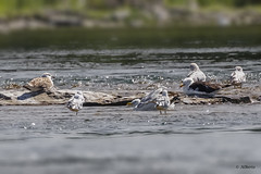 Gulls (shimmer5641) Tags: larusfuscus lesserblackbackedgull gull goélandbrun gaviotasombría larusargentatus herringgull goélandargenté gaviotaargéntea gaviotas birdsofnorthamerica