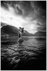 Dog on a Rock (JJFET) Tags: border collie sheepdog dog herding