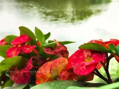Flowers.. (syedminhaj1) Tags: flowers colourfullphotography colourfulflowers mobilephotography photography nikonphotography colours iphonephotography beautifulnature nature bangalore southindia park