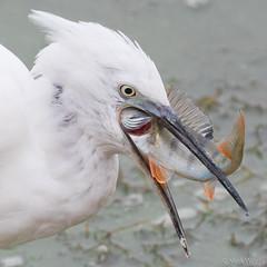 Little Egret with a Perch (markwright12002) Tags: 2018 blashfordlakes fish hiwwt hampshire littleegret perch september