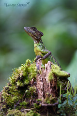 Basilisco occidental/ Red headed basilisk (Basiliscus galeritus) (Jacobo Quero) Tags: basilisco basilisk basiliscusgaleritus dragon reptile lizard green cloudforest nature naturaleza ecuador