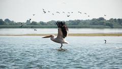 Flying pelican - Danube Delta (zmonarski.m) Tags: pelican bird wild nature fly flying takeoff romania tulcea mila23 canon 70d fastshutter holidays danube delta danubedelta iwishihadalongerlens