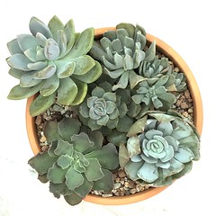 Mixed Succulent combo with tall Echeveria from Woan Sein (Kenny Song) Tags: plants succulents