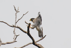 7K8A8236 (rpealit) Tags: scenery wildlife nature state line lookout peregrine falcon bird