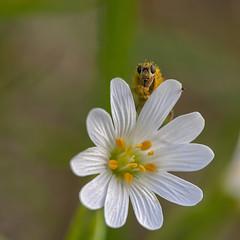 Hello, happy taxpayer ! (JLM62380) Tags: flower nature macro plante sauvage botanic botanique fleur insecte fly bug pollen pétales petal lastellairedesbois stellarianemorum stitchwort