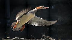 Gänsesäger (karinrogmann) Tags: gänsesäger ente commonmerganser duck smergomaggiore anatra kölnerzoo