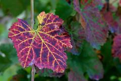 la foglia di vite (♥iana♥) Tags: vino uva grape vendemmia autunno autumn fall rosso red vite vigna grapevine montemarano avellino campania italia