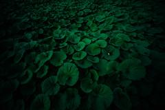 fuki (N.sino) Tags: m9 superwideheliar15mmf45 shinjuku shinjukugyoen butterbur 蕗 ツワブキ 海 緑の海 新宿 新宿御苑 超広角