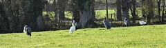 Herons and Little Egrets enjoy the morning sunshine (ronmcbride66) Tags: codown rural countryside herons littleegrets woodland trees beech birds coth5