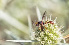physocephala vittata (Josep M.Toset) Tags: animalia arthropoda bosc camí catalunya conopidae concadebarbera d800 mosca macro nikon insectes flors fulles diptera sigma105mmf28exdgoshsm