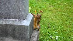 014 -1crpvib1stpffwlcon (citatus) Tags: eastern gray squirrel mount pleasant cemetery toronto canada fall morning 2018 pentax k5 ii
