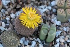 Living Stone flower (Stephen G Nelson) Tags: succulent flower stoneplant botanicalgarden tucson