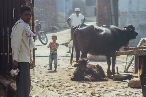 Villagers & Cattle, Uttar Pradesh India
