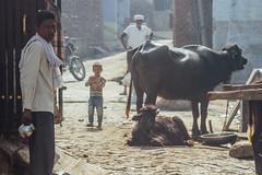 Villagers & Cattle, Uttar Pradesh India (AdamCohn) Tags: adam cohn uttar pradesh india mathura vrindavan holi wwwadamcohncom adamcohn uttarpradesh govardhan