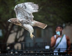 Tompkins Square red-tail fledgling (Goggla) Tags: fledgling a2 nyc new york east village tompkins square park urban wildlife bird raptor red tail hawk 2