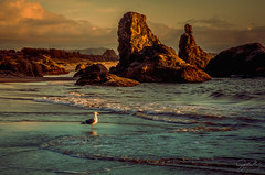 Seagull at sunset (jaki good miller) Tags: seagull sunset basking oregoncoast pacificocean oregon coastline bird whiteseagull impressionisticlandscape landscape seascape clouds craggy travel jakigoodmillerphotography ocean shoreline