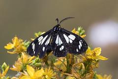Unknown Moth (any suggestions) (Brown Acres Mark) Tags: moth cascademountains jacksoncounty oregon usa markheatherington