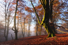 The Magic of Autumn (Hector Prada) Tags: autumn otoño forest bosque woods fog niebla mist bruma leaves hojas sunlight sun sol light luz nature naturaleza moss musgo morning dreamy magic paísvasco basquecountry golden dorado