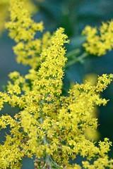 Yellow Weeds (Read2me) Tags: yellow plant tcfe cye pree wildflower dof bokeh