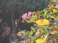 Wednesday, 10th, Autumn sunshine IMG_7123 (tomylees) Tags: essex morning autumn october 2018 10th wednesday garden sunshine honeysuckle flowers