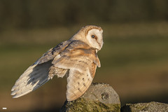 Wings ready for action (davidrhall1234) Tags: barnowltytoalba barnowl owl yorkshire dales birdsofprey beak birdsofbritain bird birds countryside feather falconry hunting predator nature nikon outdoors wildlife world woodland wall coth coth5