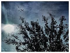 Denim sky. (jeanne.marie.) Tags: faded blue sunrays blackandwhiteandblue silhouettes crepemyrtle sun sunshine autumn mydailywalk textured iphone7plus iphoneography flight flying birds sky denim