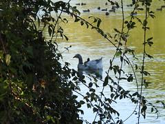 Que vois-je derrière les ronces ? (chriscrst photo66) Tags: bird animal oiseau végétation ronce oie blanche canards eau lac nikoncoolpixp900