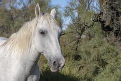 Portrait équin (Xtian du Gard) Tags: xtiandugard camargue provence france cheval portrait equin nature animaux liberté parcnational