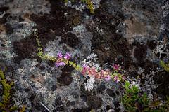 18C_6038.jpg (Jim Martellotti) Tags: iceland black white flowers lichen pink