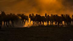 hayal (yasar metin) Tags: ngc yılkı atları kayseri hörmetçi hürmetçi horse horses sunset gün batımı life light sun sky mountain landscape grass animal field mist people sand tree road