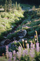 magic and meadows, part two (manyfires) Tags: film analog mtrainier mtrainiernationalpark mountrainier mountrainiernationalpark landscape mountains nwoutdoors outdoors nature hike hiking pnw pacificnorthwest summer nikonf100 35mm alpine meadow wildflowers blossom bloom lupine