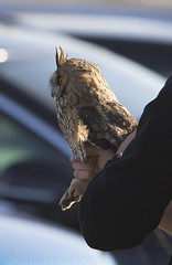 Long-eared Owl (Asio otus) (macronyx) Tags: bird birds birding aves birdwatching fåglar vogel oiseaux nature wildlife banded ringed ringmärkt owl uggla hornuggla asio asiootus longearedowl