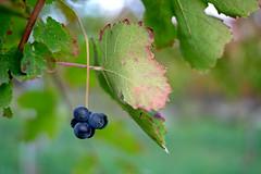 grappolinino (♥iana♥) Tags: vino uva grape vendemmia autunno autumn fall rosso red vite vigna grapevine montemarano avellino campania italia