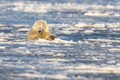 Polar Bear Ice Diving (Glatz Nature Photography) Tags: alaska barterisland glatznaturephotography kaktovik northamerica northslope polarbear ursusmaritimus nanuk nanuq wildlife wildanimal arctic arcticalaska ice water animal mammal bear swim nikond850