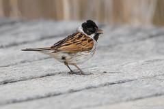 Bruant des roseaux (DorianHunt) Tags: birds bokeh reedbunting switzerland april 2018 nikond500 sigma 150600mm